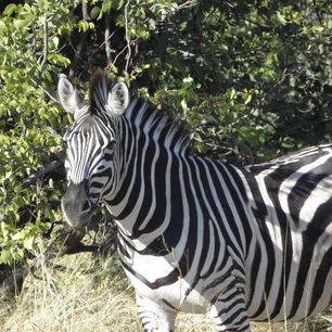 Botswana-Khwai-Zebra3