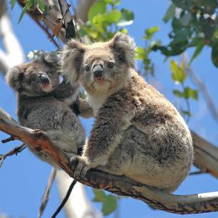 Australie-Great-Ocean-Road-koalaberen