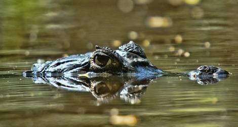 Colombia-Los-Llanos-krokodil