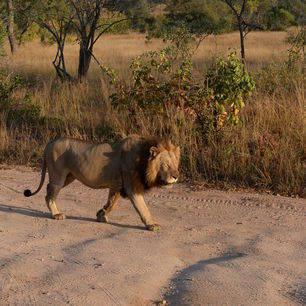 Krugerpark-Leeuw_1_348600