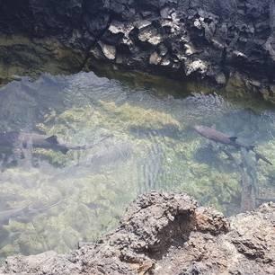 Haaien zwemmen tussen de rotsen op Isabela, Galapagos