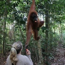Orang-oetan voeren in Maleisië