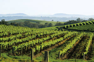 Wijnvelden van Hunter Valley
