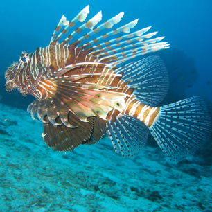 Thailand-KohChang-lionfish_2_260253