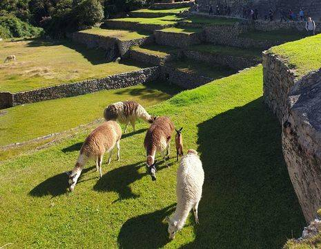 Peru-Machu-Picchu-Lama-1