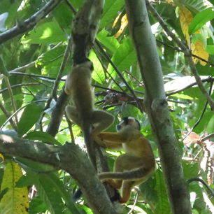 Klimmende-aapjes-Madidi-NP-Bolivia