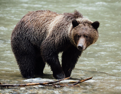 Canada-Campbell-River-Grizzly-beren-1