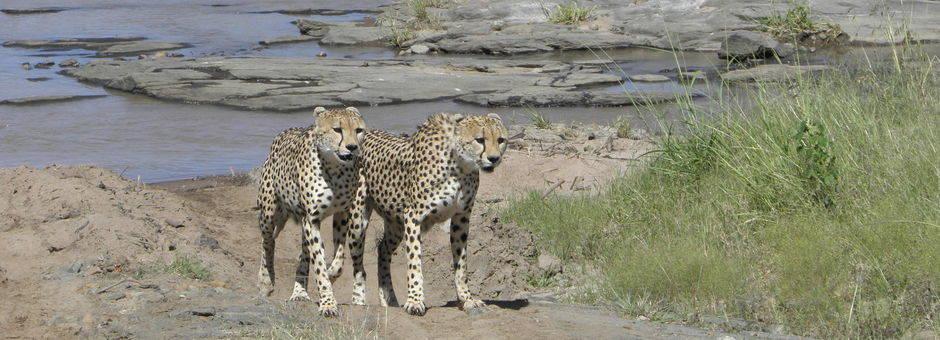 Kenia-Masai-Mara-Cheetas_1_390966