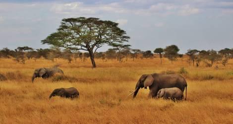 Tanzania-Serengeti-Olifanten