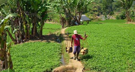 2011 09 22 036 Garut Omgeving Rijst , bij gebruik broch vermelden fotograaf Rob Visser
