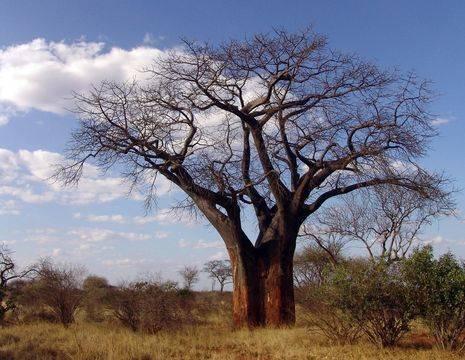 Zuid-Afrika-Limpopo-Baobab