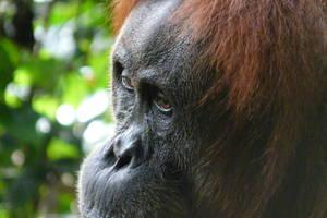Bukit Lawang: Jungletrekking en tuben