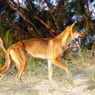 Australie-Fraser-Island-dingo