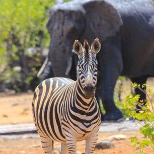 Krugerpark-Zebra-Olifant_1_386923