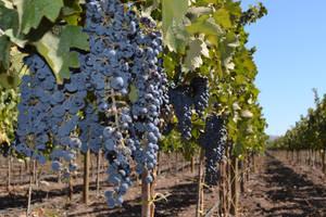 Concha y Toro wijngaard
