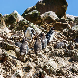Pinguins-op-de-rotsen-bij-Islas-Ballestas-9955a200(10)