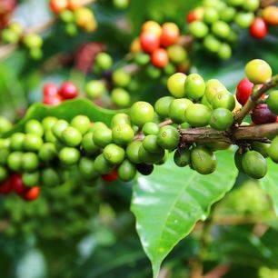 Panama-rode-koffiebonen-cherry-2_1_367471