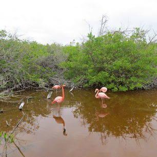 Kleurrijke flamingo's in de wetlands op Isabela