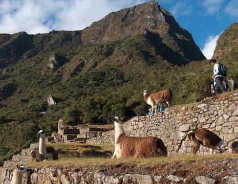 Peru-Machu-Picchu-lama_1_356428