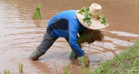 Azie-Thailand-Loei-Rijstvelden