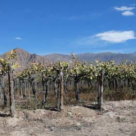 Wijngaard in Cafayate