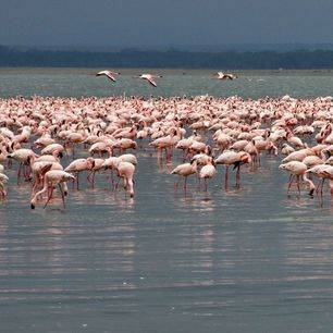 Lake-Nakuru-Flamingo