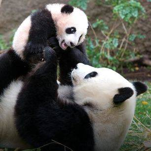 Amerika-San-Diego-Zoo-Panda_1_502416