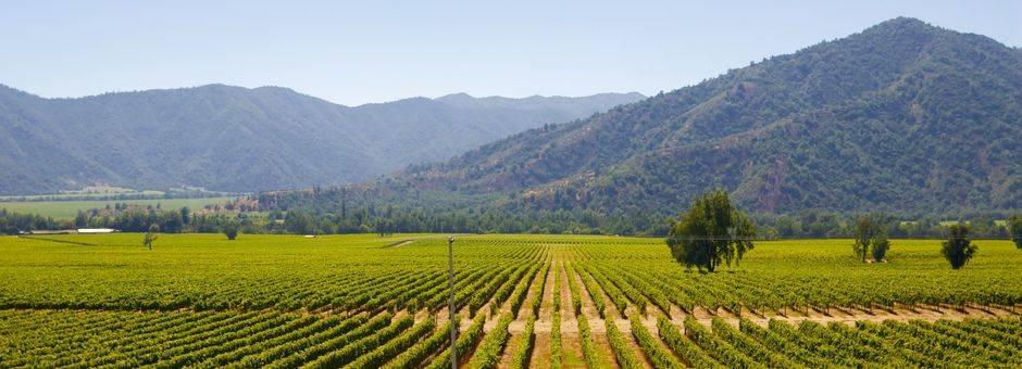 Chili-wijgaarden-nabij-Santiago-de-Chile
