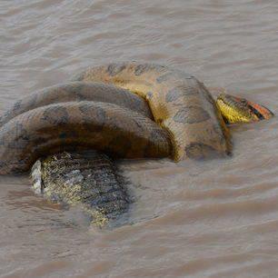 Colombia-Los-Llanos-anaconda_1_486164
