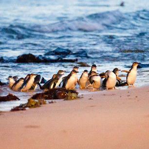 Australie-Phillip-Island-kolonie-pinguins