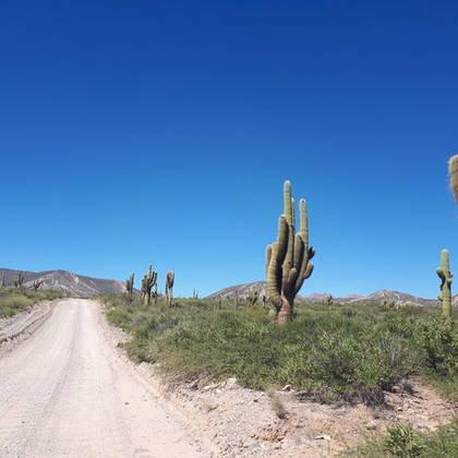 Hoge Cactussen naast de weg in Argentinië