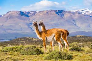 Chili-Patagonie-Guanacos