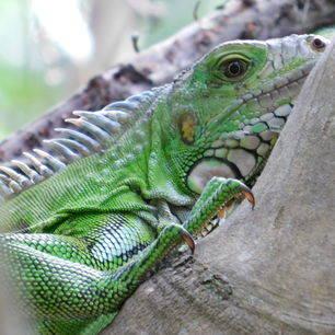 Colombia-Amazone-leguaan_1_481975