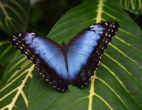 Blue-morphos(7)