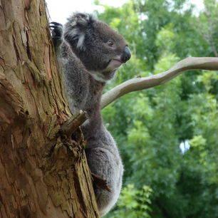 Australie-Otway-National-Park-koala