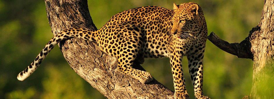 Een luipaard hoog en veilig in de boom, Zuid-Afrika