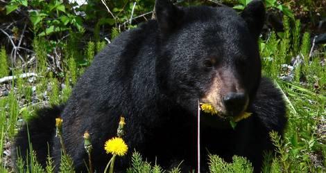 De zwarte beer in Canada