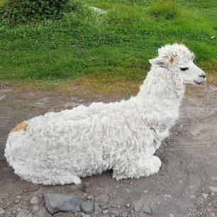 Ecuador-El-Angel-alpaca