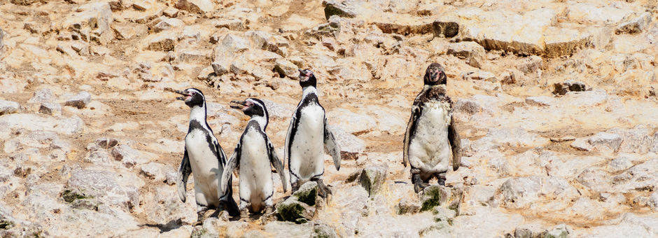 Pinguins-op-een-rijtje-op-de-rotsen(11)