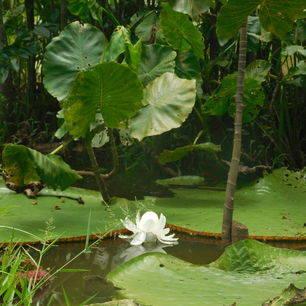 Colombia-Amazone-waterlelies_1_481897