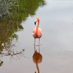 Flamingo o Isabela Island