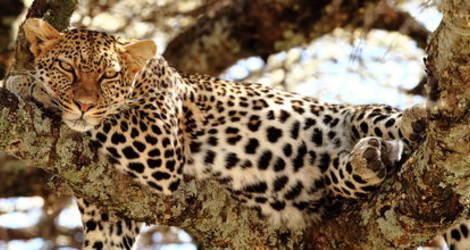 Een luipaard ligt uit te buiken in het Masai Mara National Reserve