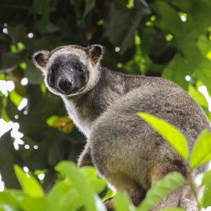 Australie-Atherton Tablelands-boomkangoeroe_1_560138