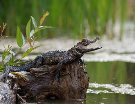 Kleine-krokodil-Amazonegebied(12)