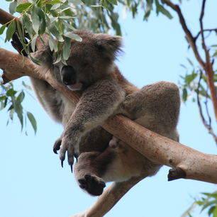 Australie-Great-Otway-National-Park-Koala_1_559607