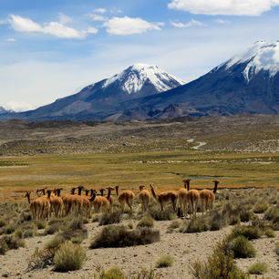 Chili-Lauca-National-Park-guanacos