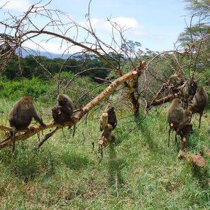 Tanzania-Ngorongoro-apen