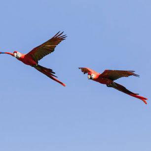 Rode-ara-vliegen-Bolivia_1_352884