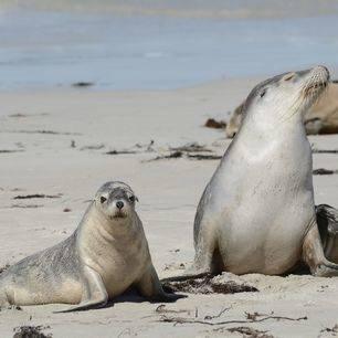 Australie-Kangaroo-Island-Seal-Bay-zeehond