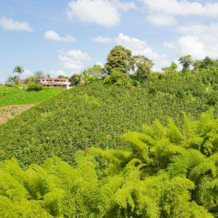 Colombia-Armenia-koffieplantage